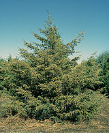 160px-juniperus_virginiana_tree.jpg