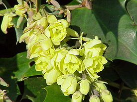 275px-mahonia_japonica1.jpg