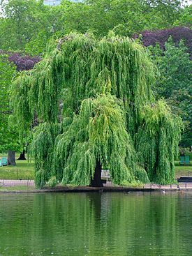 275px-willow.jpg